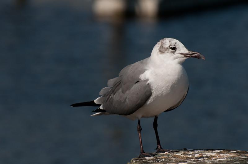 Laughing Gull, Florida