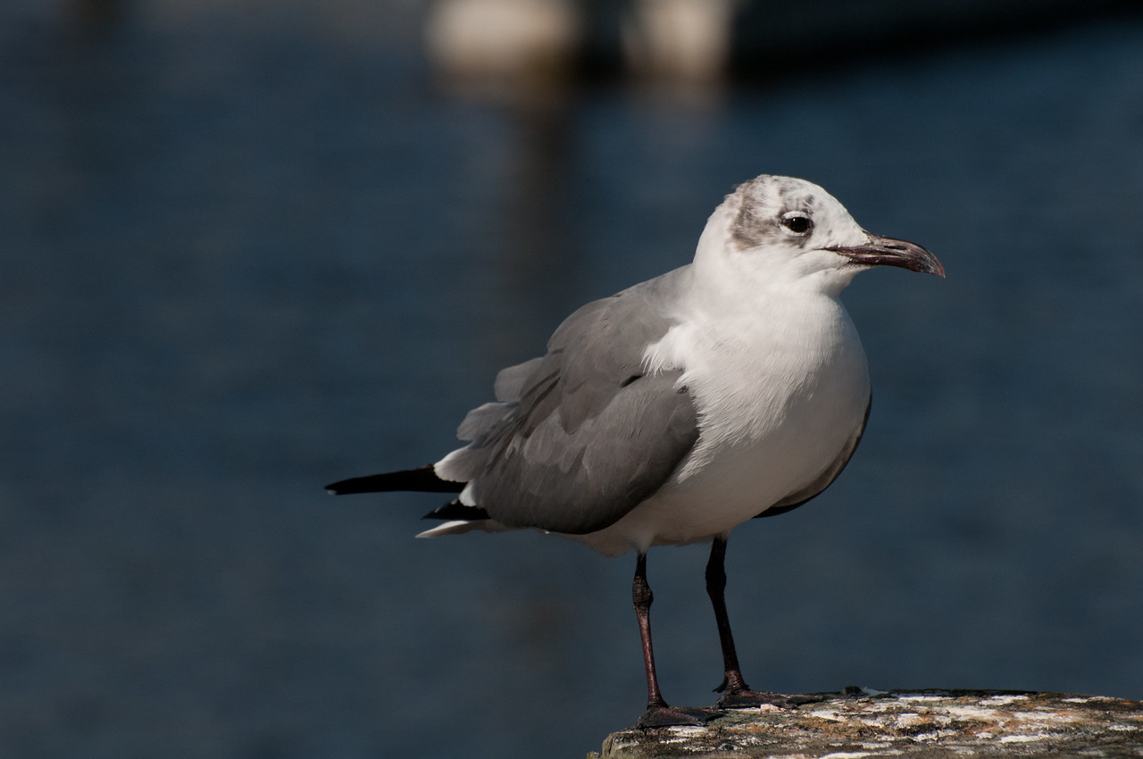 Laughing Gull, Florida