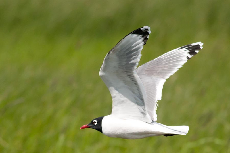 Franklin's Gull in flight at Malheur NWR, Oregon.  A small inland gull.