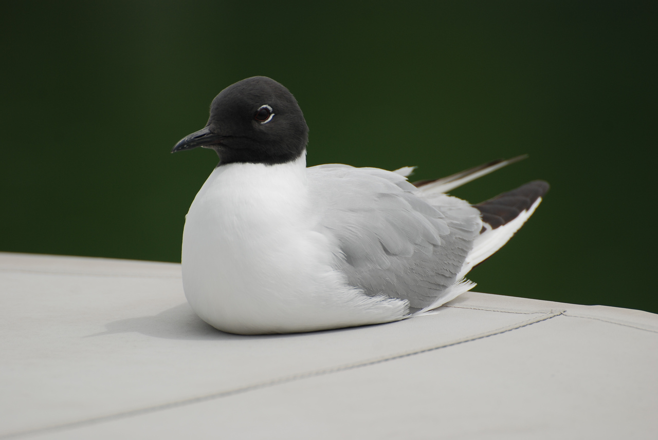 Bonaparte's Gull, Interior B.C. summer