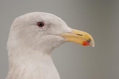 Gulls (Laridae)