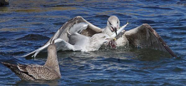 Gulls- Fish  Wars