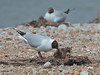 Black-headed Gulls with their chicks. Copyright Peter Drury 2010