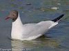 21 March 2011. Black-headed Gull between the bridges.  Copyright Peter Drury 2011