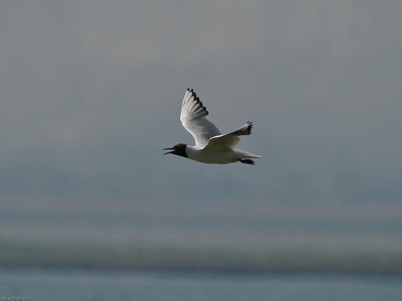 Black-headed Gull. Copyright 2009 Peter Drury