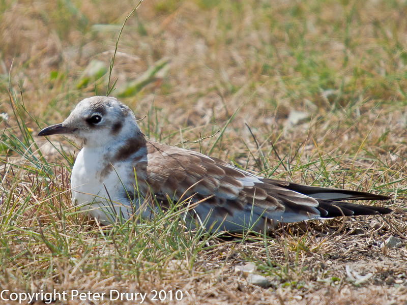 22 July 2010 - Black-headed Gull fledgling at rest. Copyright Peter Drury 2010