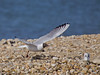 09 April 2011. Black-headed Gull at the oysterbeds.  Copyright Peter Drury 2011