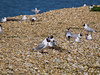 06 April 2011. Early nesting gulls on north island.  Copyright Peter Drury 2011