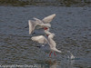 02 Jan 2011. Black-headed Gulls at Broadmarsh. Copyright Peter Drury 2011<br /> Triple decker