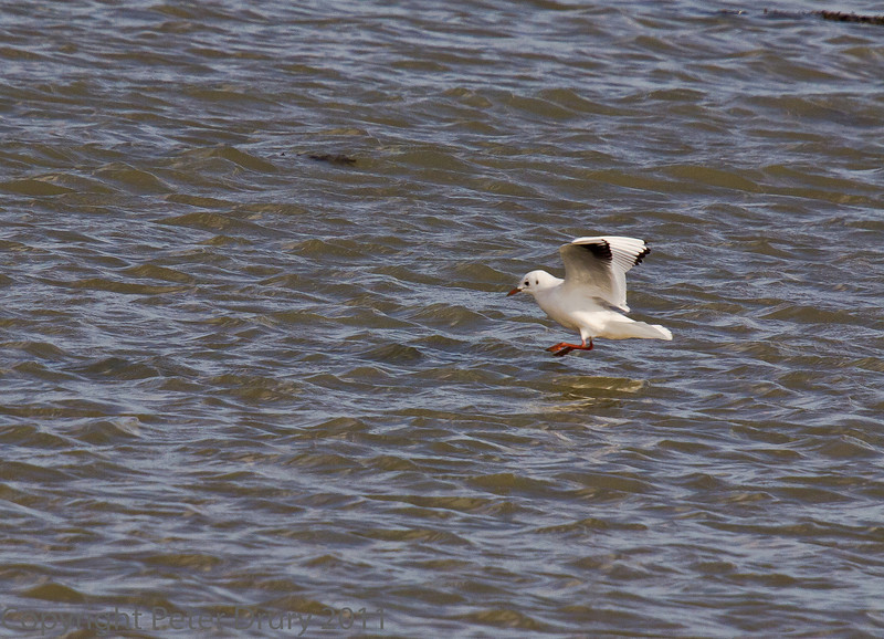 18 Oct 2011 Black-headed Gull at West Hayling LNR.