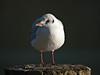 Black-headed Gull (Larus ribibundus). Copyright Peter Drury 2009