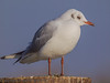 11 February 2012 Black-headed Gull at Broadmarsh