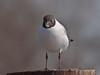 Black-headed Gull (Larus ribibundus). Copyright Peter Drury 2010