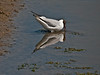 Black-headed Gull. Copyright 2009 Peter Drury<br /> Mirror, mirror on the wall..........<br /> The old oysterbeds, Langstone Harbour, Hayling Island.