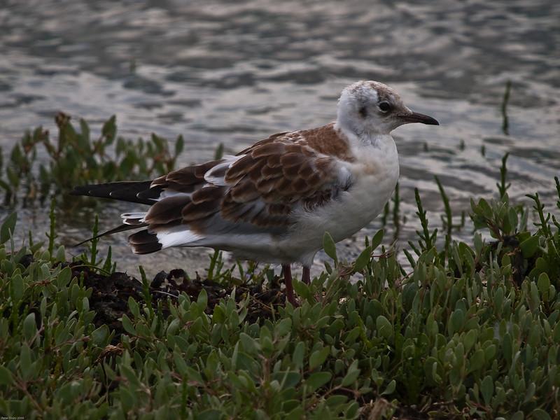 Black-headed Gull (Larus ribibundus). Copyright 2009 Peter Drury<br /> Juvenile<br /> Oyster beds, North Hayling, Langstone Harbour