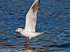 11 Oct 2010 - Black-headed Gull at Slipper Pond, Emsworth. Copyright Peter Drury 2010<br /> E5 + Sigma 50-500, ISO 800, f10, Aperture Priority