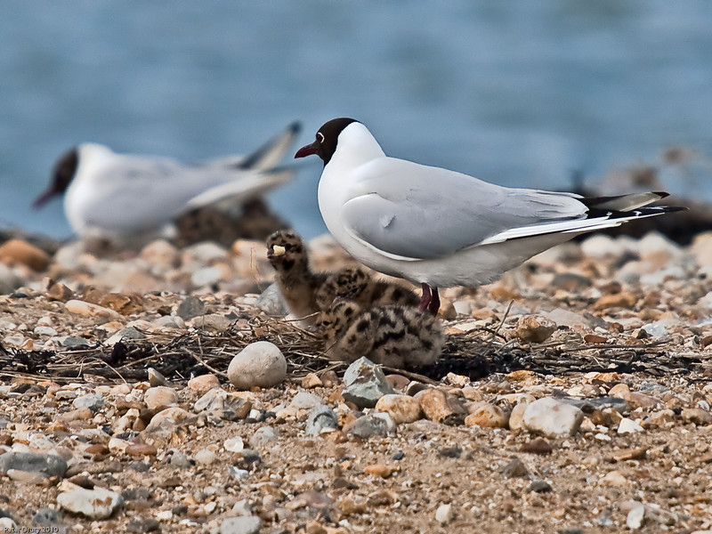 Black-headed Gull chicks - Reprocessed as suggested. Copyright Peter Drury 2010