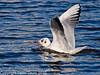 11 Oct 2010 - Black-headed Gull at Slipper Pond, Emsworth. Copyright Peter Drury 2010