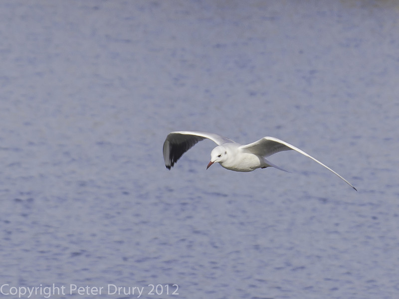 Black-headed gulls arrive at the Oysterbed breeding site.