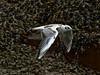 Black-headed Gull (Larus ribibundus). Copyright 2009 Peter Drury