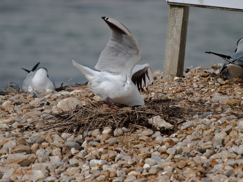 Black-headed Gulls cleaning out the nest. Copyright Peter Drury 2010