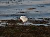 Black-headed Gull (Larus ribibundus). Copyright 2009 Peter Drury<br /> Adult winter plumage<br /> Langstone Harbour