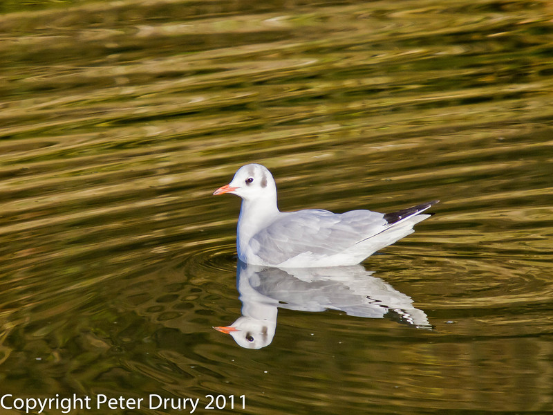 Black-headed Gull at Broadmarsh. Copyright Peter Drury 2011