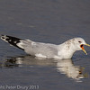 Common Gull at West Hayling LNR. Transition from winter to summer plumage.