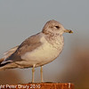 15 Nov 2010 - Common Gull at Broadmarsh, Langstone Harbour. Copyright Peter Drury 2010