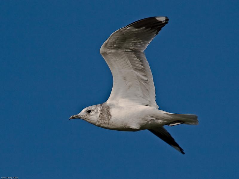 Common Gull (Larus canus). Copyright 2009 Peter Drury
