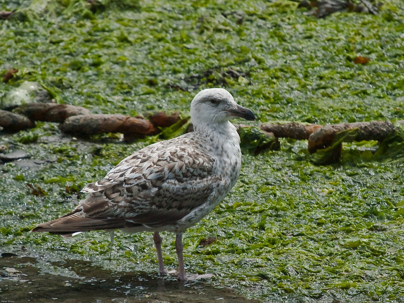 Great Black-backed Gull (Larus marinus). Copyright Peter Drury<br /> Juvenile, first winter plumage. Mevagissey Harbour at low tide.