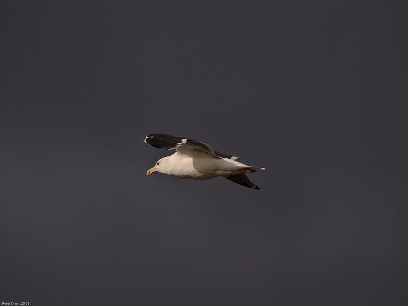 Great Black-backed Gull (Larus marinus). Copyright 2009 Peter Drury<br /> Langstone Harbour