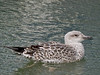 Juvenile Great Black-backed Gull (Larus marinus)<br /> Langstone Harbour
