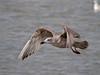 Herring Gull (Larus argentatus). Copyright 2009 Peter Drury