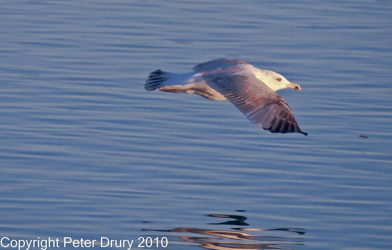 15 Nov 2010 - Juvenile Herring Gull at Broadmarsh, Langstone Harbour. Copyright Peter Drury 2010<br /> Frame 3