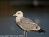 07 Oct 2010 - Juvenile Herring Gull at Broadmarsh. Copyright Peter Drury 2010