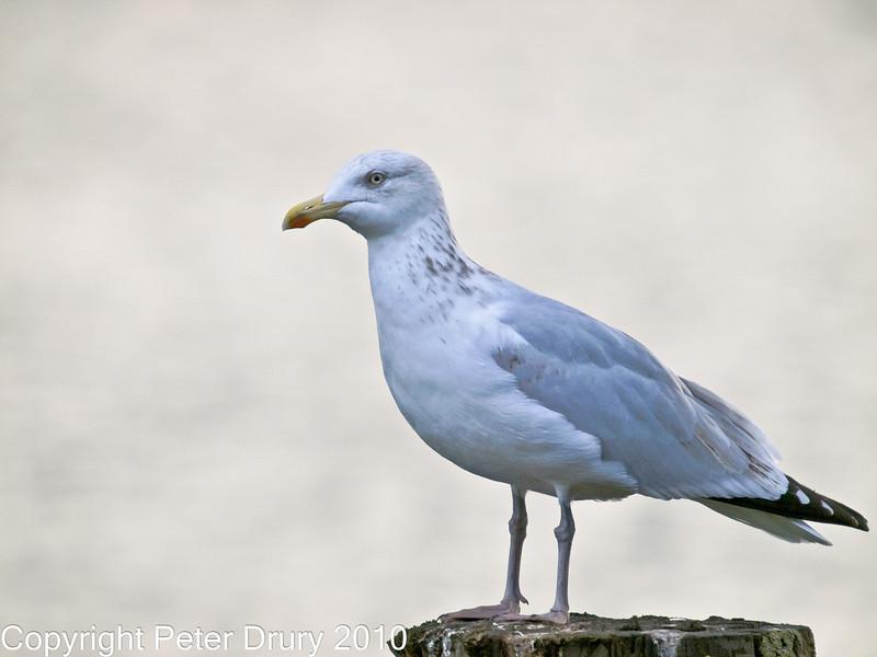 07 Oct 2010 - Herring Gull at Hermitage stream. Copyright Peter Drury 2010