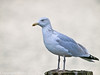 07 Oct 2010 - Herring Gull at Hermitage stream. Copyright Peter Drury 2010