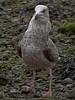 Herring Gull (Larus argentatus). Copyright Peter Drury 2010
