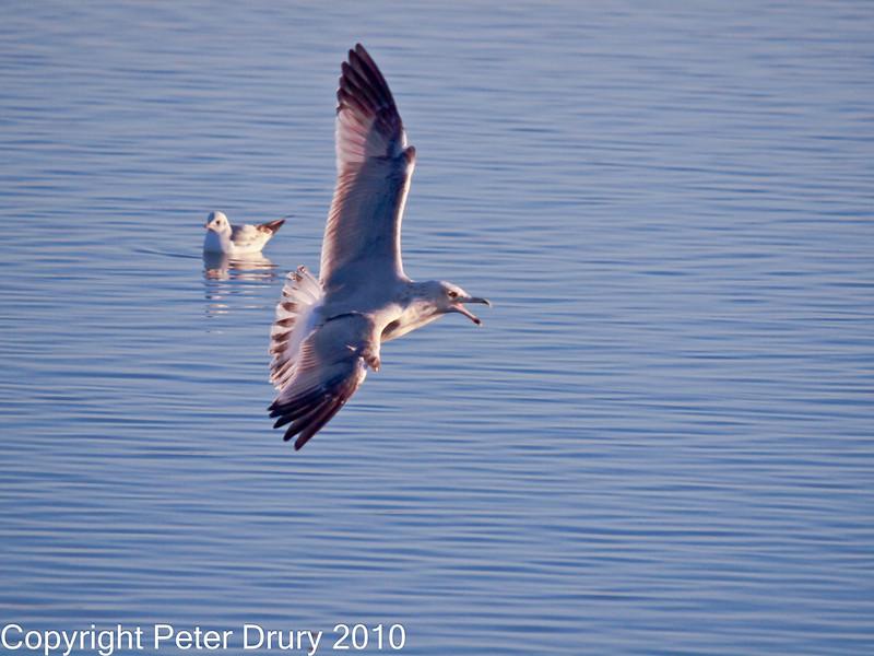 16 Nov 2010 - Herring Gull at Broadmarsh, Langstone Harbour. Copyright Peter Drury 2010<br /> Frame 5