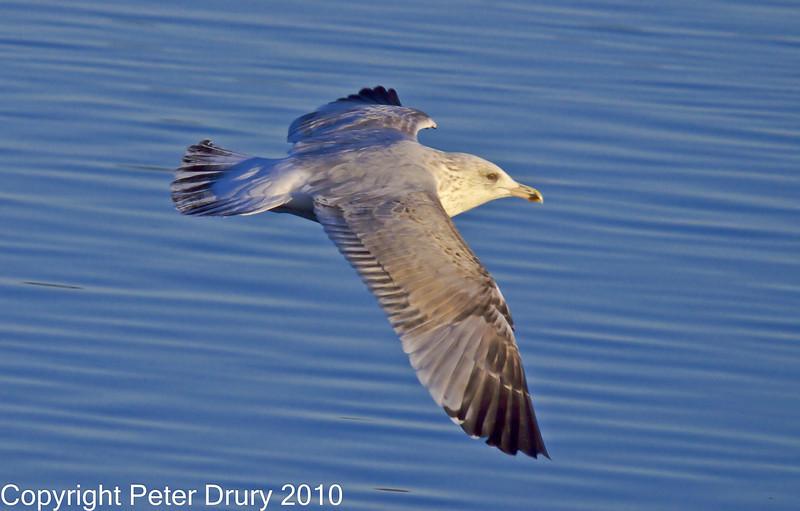15 Nov 2010 - Herring Gull at Broadmarsh, Langstone Harbour. Copyright Peter Drury 2010<br /> Frame 1