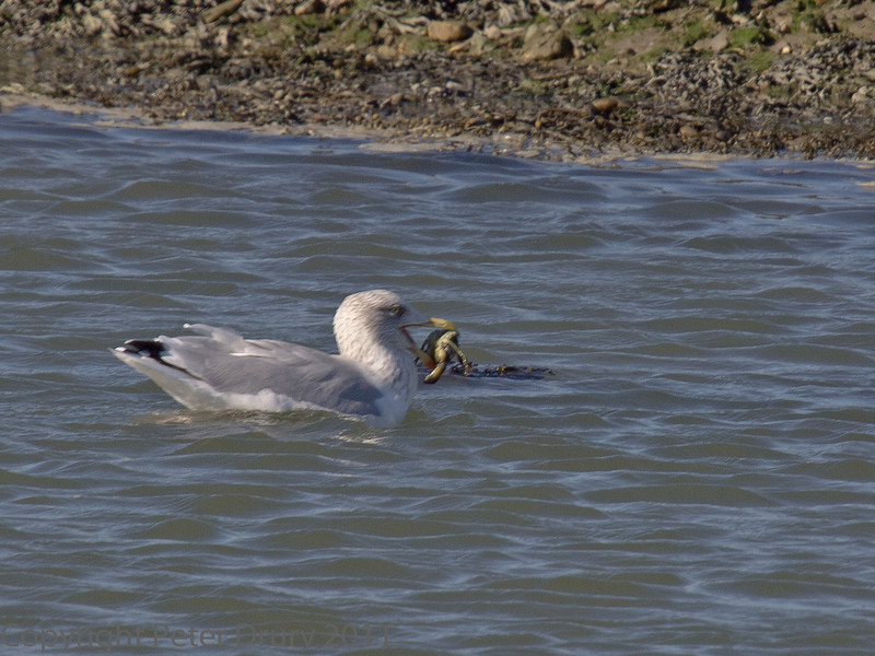 15 Oct 2011 Herring Gull at the Oysterbeds.
