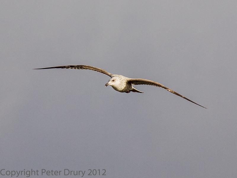 22 January 2012 Juvenile Herring Gull over the Hermitage Stream estuary.