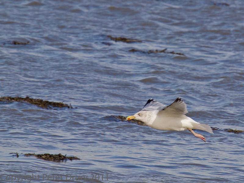 18 Oct 2011 Herring Gull at West Hayling LNR.