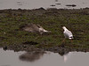 Herring Gull (Larus argentatus). Copyright 2009 Peter Drury<br /> Adult driving off Juvenile.<br /> Langstone Harbour
