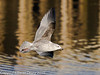 05 Dec 2010 - Herring Gull at Hermitage Stream. Copyright Peter Drury 2010.