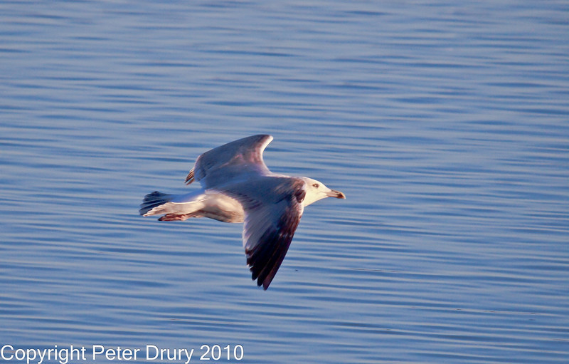 15 Nov 2010 - Juvenile Herring Gull at Broadmarsh, Langstone Harbour. Copyright Peter Drury 2010<br /> Frame 4