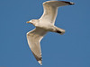 Herring Gull (Larus argentatus). Copyright 2009 Peter Drury<br /> Langstone Harbour