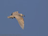 02 February 2012 Iceland Gull at Broadmarsh.