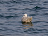 14 March 2012 Iceland Gull at Broadmarsh.
